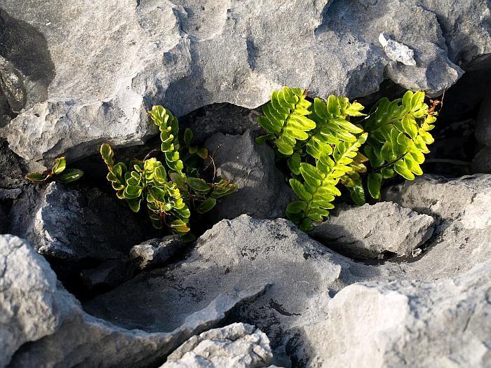 Die Flora des Burrren