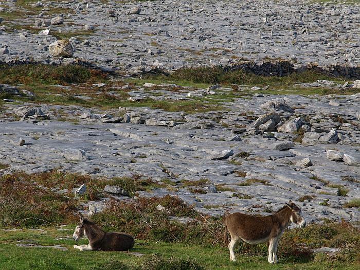 Burren donkeys